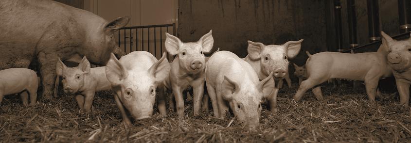 NewBorn swine range picture