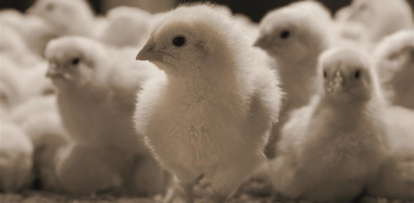 Newborn poultry range picture