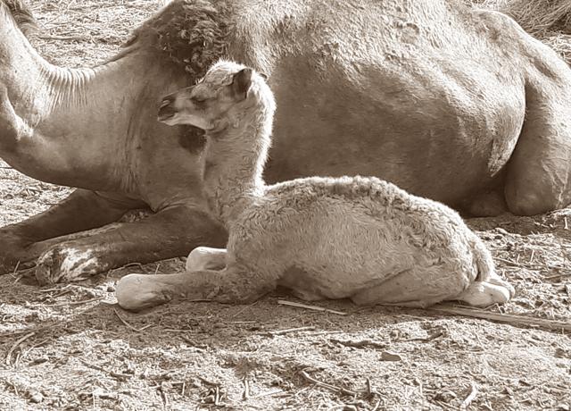 Camel Calf alongside its mother