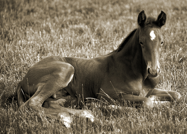 Laid down foal