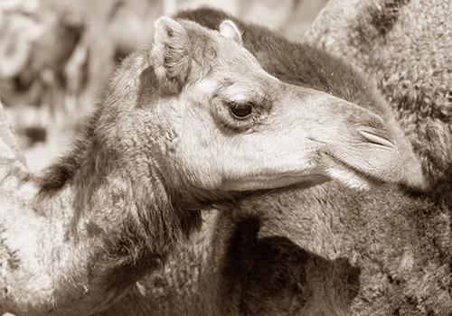 camelids bloc carrefour
